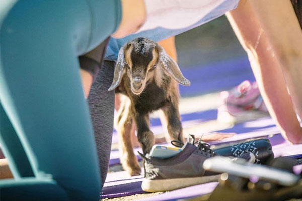 Win a trip to Santa Cruz County, California and experience baby goat yoga with United Airlines and Affordable Car Hire