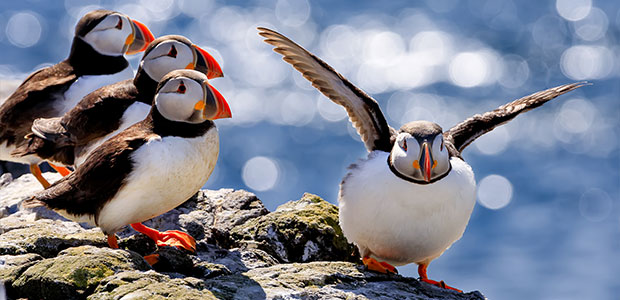 Farne-Islands-puffins